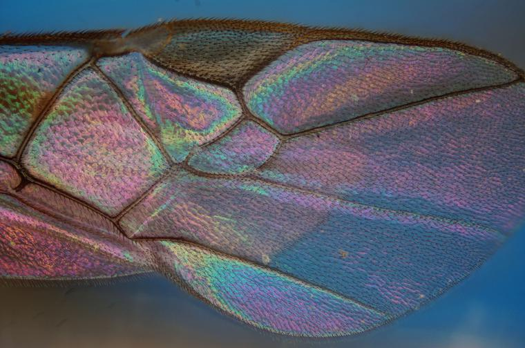 Insect Wing Under Microscope, Transmitted Light Microscope, Taken with Sony DSLR Camera